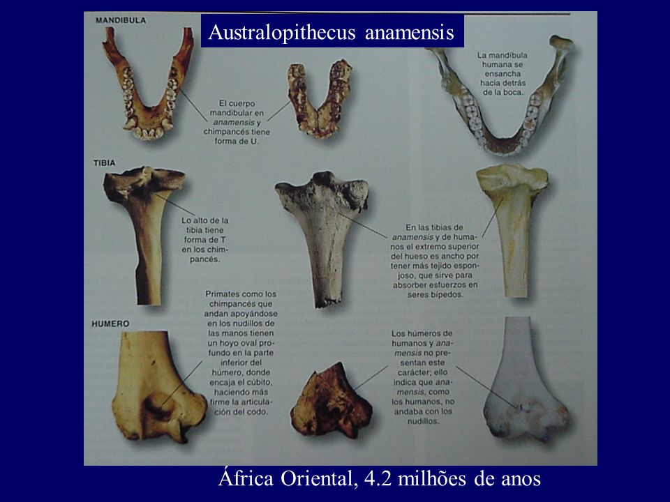 Australopithecus anamensis África Oriental, 4.2 milhões de anos