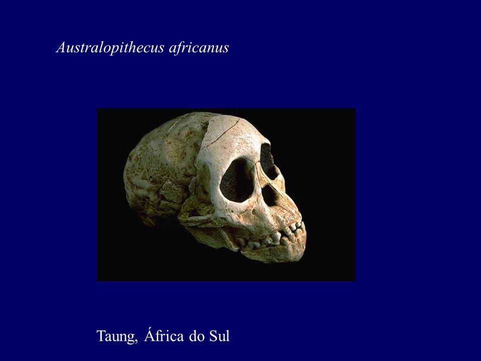 Australopithecus africanus Taung, África do Sul