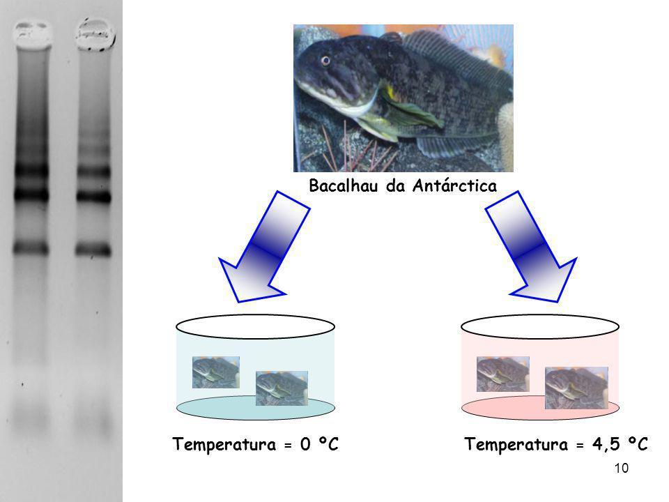 08/06/201410 Bacalhau da Antárctica Temperatura = 0 ºCTemperatura = 4,5 ºC