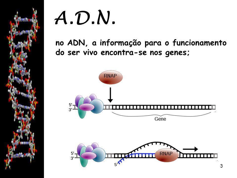 08/06/20143 A.D.N. no ADN, a informação para o funcionamento do ser vivo encontra-se nos genes;