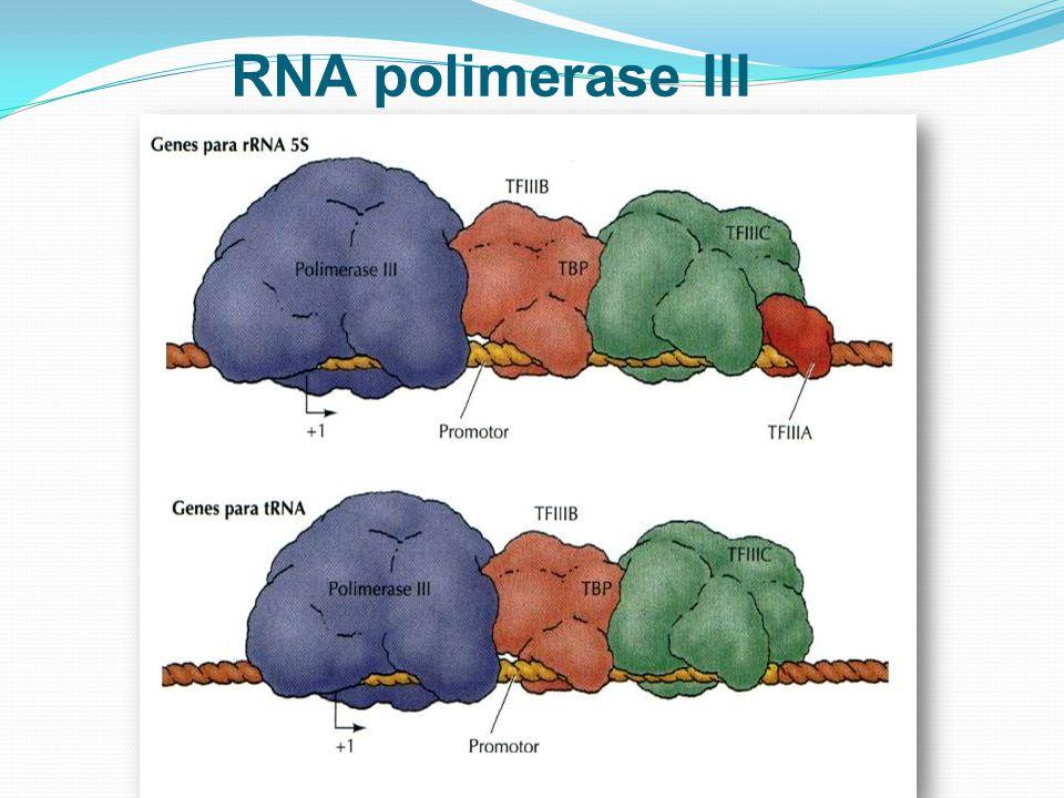 RNA polimerase III