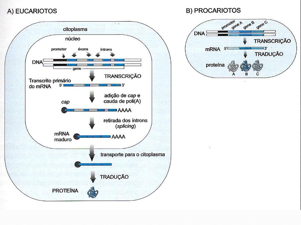 Algumas informações sobre íntrons 3,7 íntrons por kb de região codificadora No homem o número médio é de 5 íntrons por gene 94% dos genes contém íntrons O tamanho médio dos íntrons é de 125 pb O tamanho médio dos éxons é de 90 a 120 pb (30 a 40 aa)