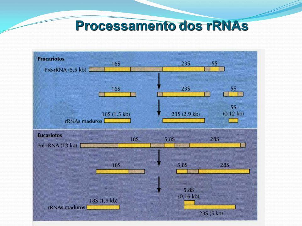 Processamento dos rRNAs