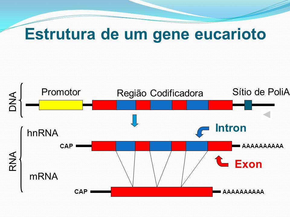 Estrutura de um gene eucarioto Sítio de PoliA Promotor Região Codificadora hnRNA AAAAAAAAAA mRNA AAAAAAAAAA Exon Intron DNA RNA CAP