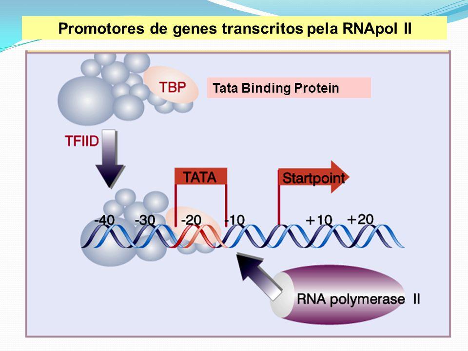 Tata Binding Protein Promotores de genes transcritos pela RNApol II