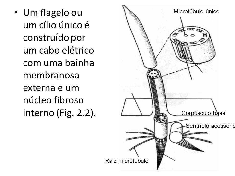 Um flagelo ou um cílio único é construído por um cabo elétrico com uma bainha membranosa externa e um núcleo fibroso interno (Fig. 2.2). Microtúbulo ú