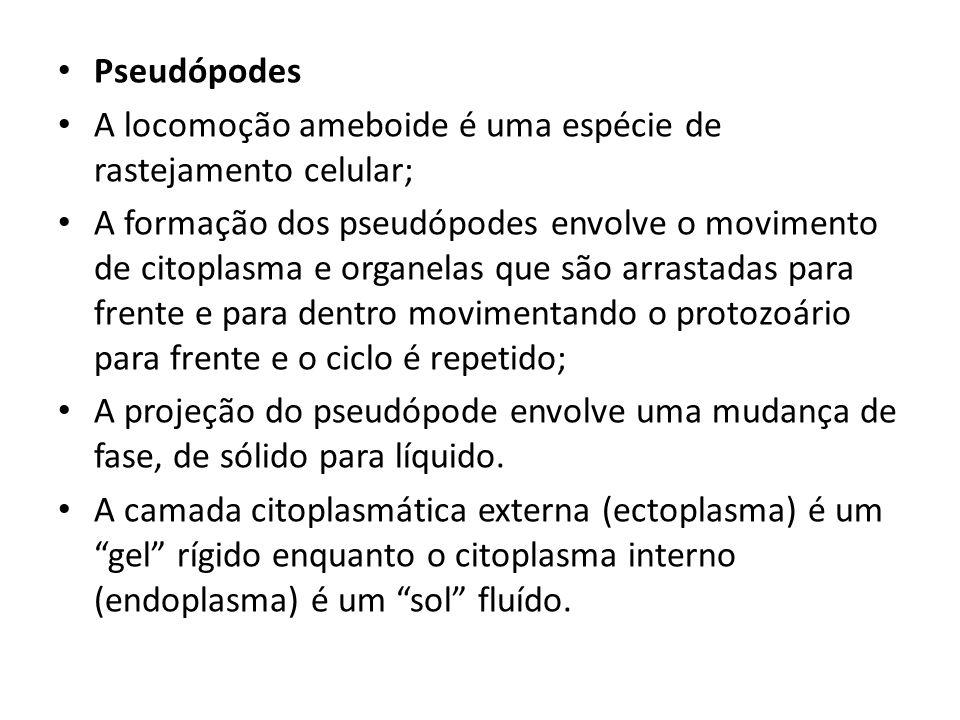Pseudópodes A locomoção ameboide é uma espécie de rastejamento celular; A formação dos pseudópodes envolve o movimento de citoplasma e organelas que s