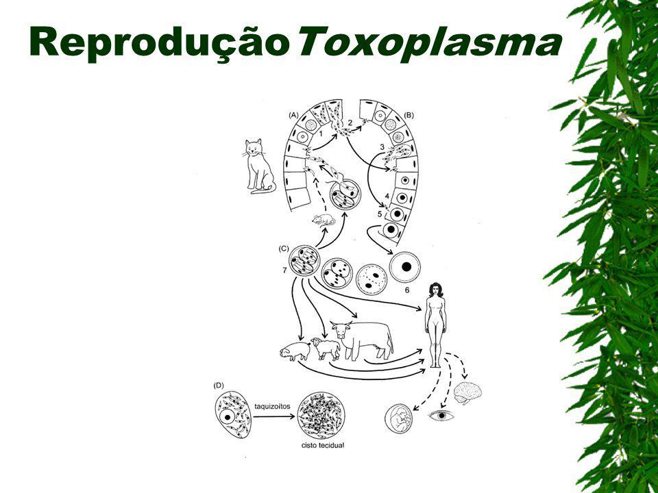 Toxoplasmose (Esporozoário) Agente etiológico: Toxoplasma gondii Hospedeiro Intermediário: Homem Hospedeiro Definitivo: Gato Sintomas: Febre, cefaléia