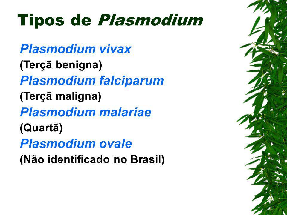 Malária (Esporozoário) Agente etiológico: Plasmodium sp Hospedeiro Intermediário: Homem Hospedeiro Definitivo: Mosquito-prego (Anopheles) Sintomas: Fe
