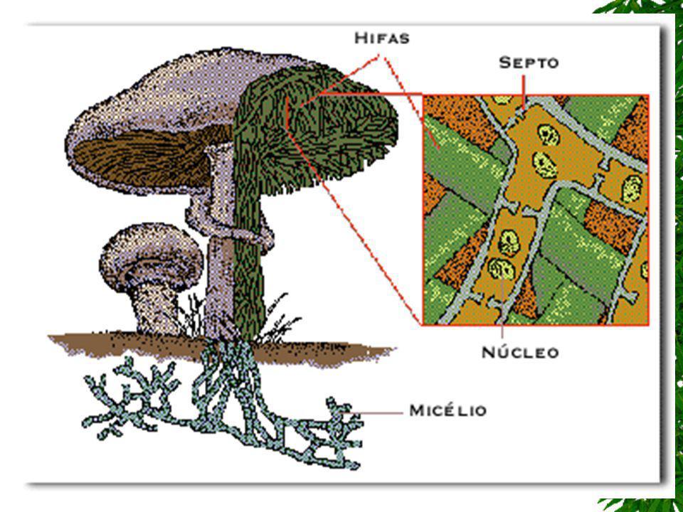 Organização corporal dos fungos O corpo dos fungos é formado por um emaranhado de filamentos de células pouco organizados e que não formam tecidos ver