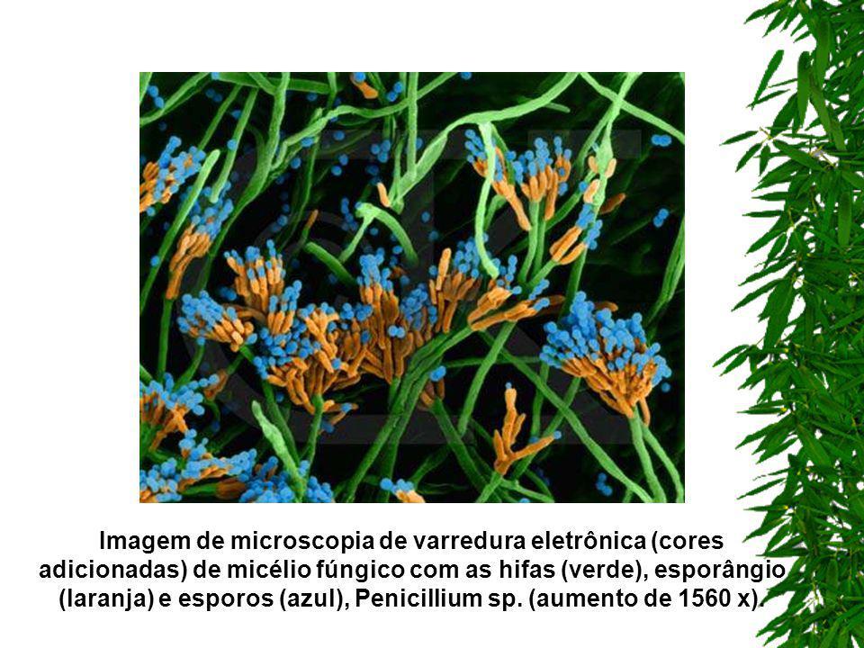 Animais Vegetais Depósito de quitina Armazenam glicose sob a forma de glicogênio Reforço celulósico (parede) Reproduzem-se por meio de esporos EX: