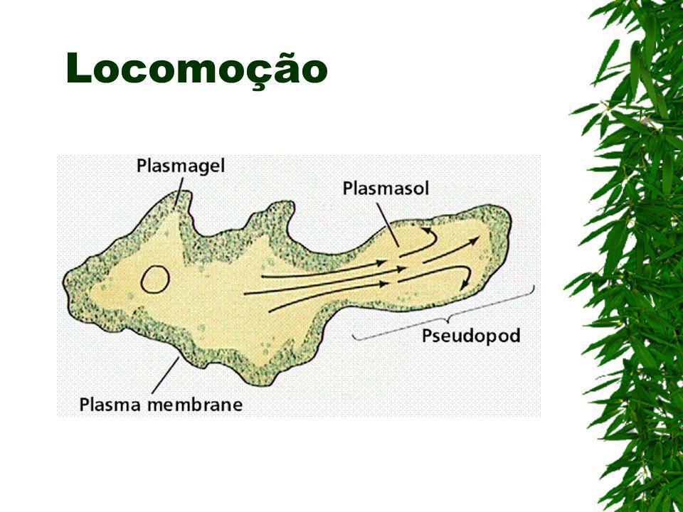 Divisão –Rizópodes ou Sarcodíneos –Ciliophora –Flagelados ou Mastigóforos –Esporozoários (Esta divisão ocorre pelo tipo de locomoção)