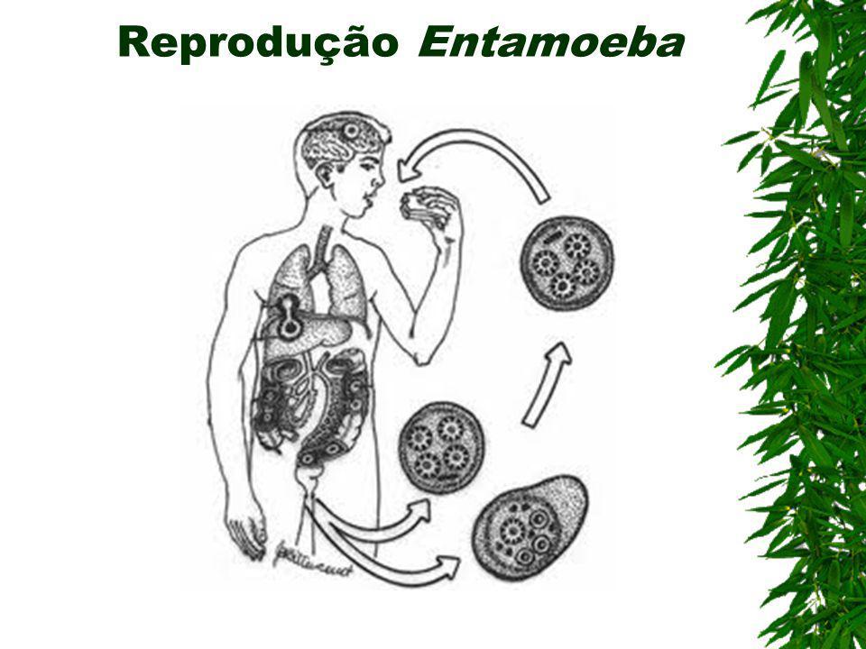 Doenças causadas por protozoários Amebíase (Rizópode) Agente etiológico: Entamoeba Hystolitica Contaminação: Ingestão de cistos em água ou alimentos c