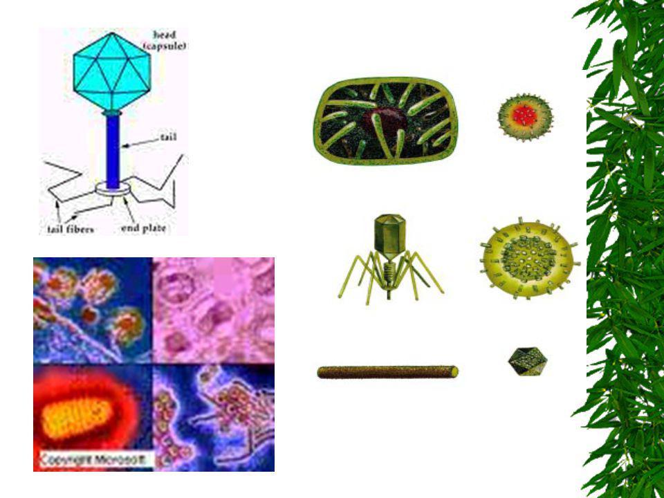 Características gerais dos Vírus Não tem metabolismo próprio São seres vivos (dentro da célula) e seres não vivos (fora da célula) CRISTALIZADOS = vír