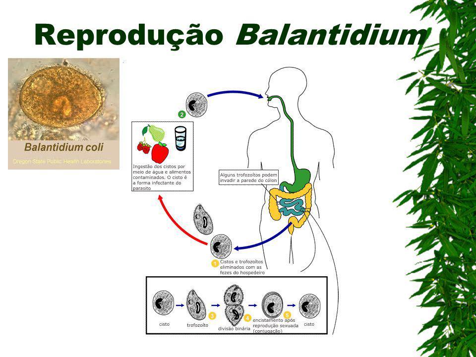 Balantidíase (Ciliado) Agente etiológico: Balantidum coli Contaminação: Ingestão de cistos em água ou alimentos contaminados Sintomas: Disenteria agud