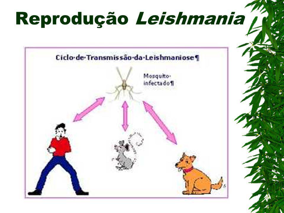 Leishmaniose (Flagelado) Agente etiológico: Leishmania sp Hospedeiro Intermediário: Mosquito-palha ou Birigui (Phlebotomus ou Lutzomya) Hospedeiro Def