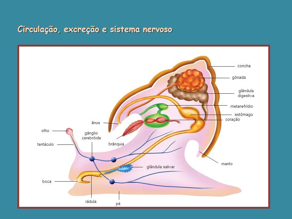 olho tentáculo boca rádula pé ânus gânglio cerebróide brânquia glândula salivar concha gônada glândula digestiva metanefrídio estômago coração manto Circulação, excreção e sistema nervoso