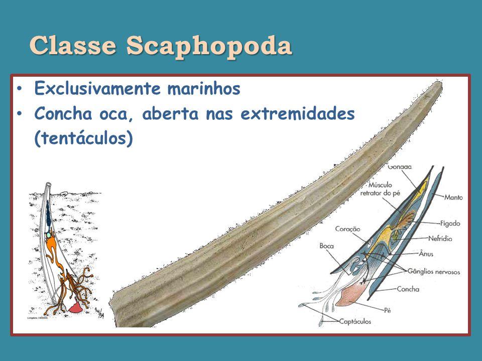 Classe Scaphopoda Exclusivamente marinhos Concha oca, aberta nas extremidades (tentáculos)