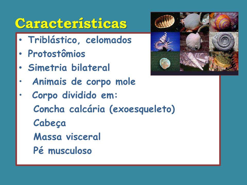 Características Triblástico, celomados Protostômios Simetria bilateral Animais de corpo mole Corpo dividido em: Concha calcária (exoesqueleto) Cabeça Massa visceral Pé musculoso