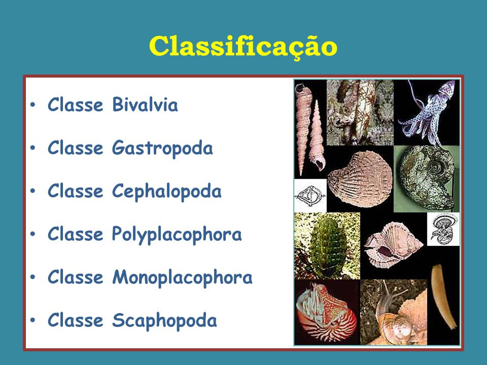 Classe Monoplacophora Dorso Ventre Dorso