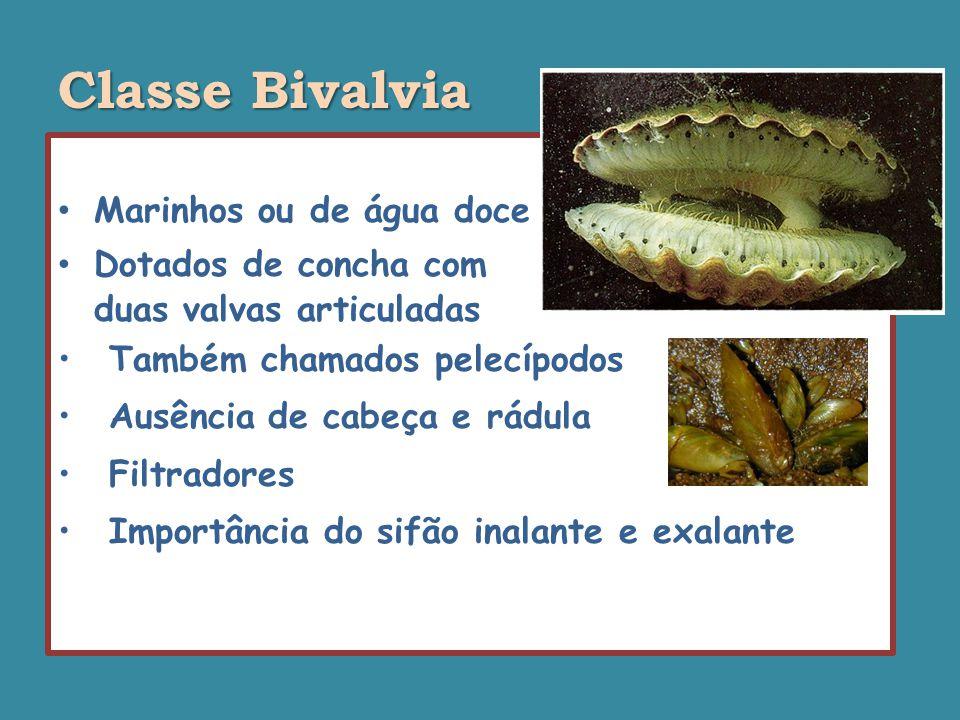 Classe Bivalvia Marinhos ou de água doce Dotados de concha com duas valvas articuladas Também chamados pelecípodos Ausência de cabeça e rádula Filtradores Importância do sifão inalante e exalante