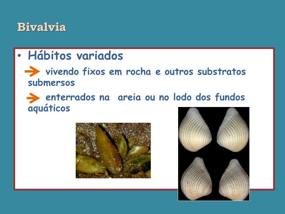 Bivalvia Hábitos variados vivendo fixos em rocha e outros substratos submersos enterrados na areia ou no lodo dos fundos aquáticos