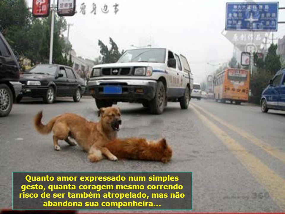 O cão chora a perda de sua querida parceirinha, vítima, também, da imprudência de motoristas desatentos...