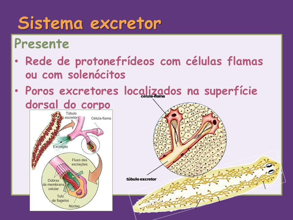 Sistema excretor Presente Rede de protonefrídeos com células flamas ou com solenócitos Poros excretores localizados na superfície dorsal do corpo