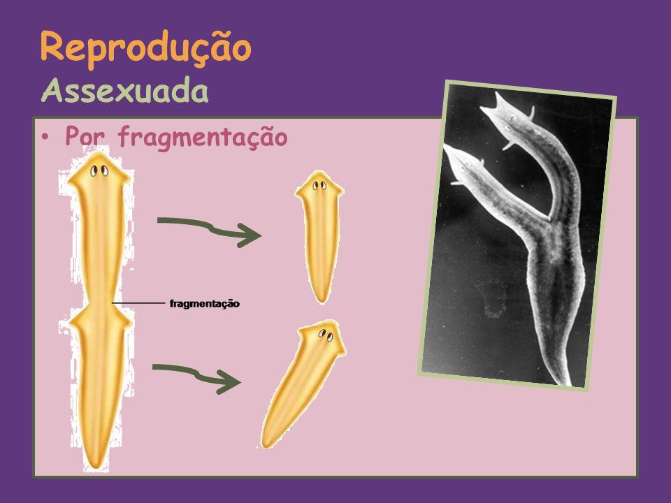 Reprodução Assexuada Por fragmentação