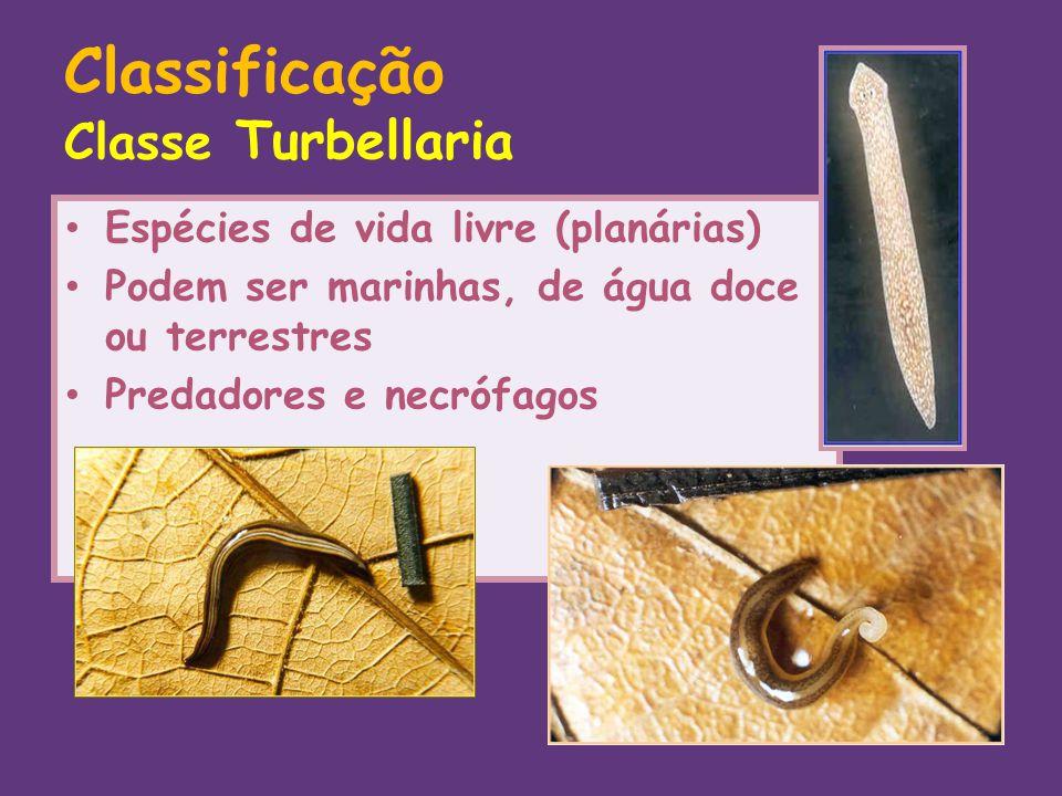 Classificação Classe Turbellaria Espécies de vida livre (planárias) Podem ser marinhas, de água doce ou terrestres Predadores e necrófagos Regeneração