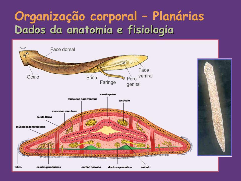 Dados da anatomia e fisiologia Organização corporal – Planárias Dados da anatomia e fisiologia