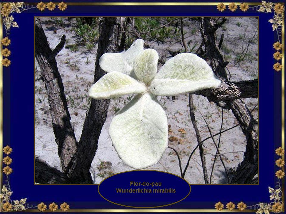 Chuveirinho Paepalanthus acanthophyllus Sombreiro Paepalanthus Spenciosus