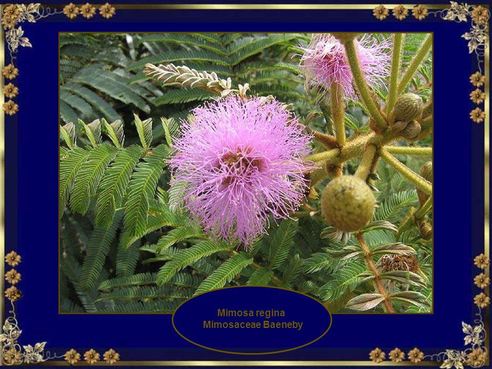 Flor Marcela (Achyrocline satureoides)