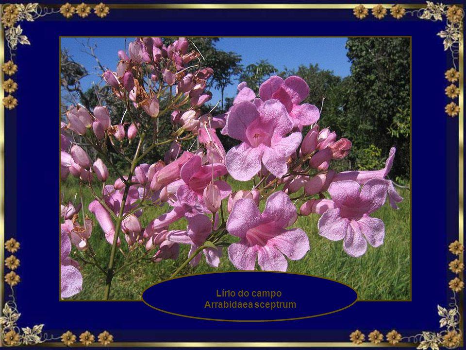 Pau Terra da Folha Larga Qualea grandiflora