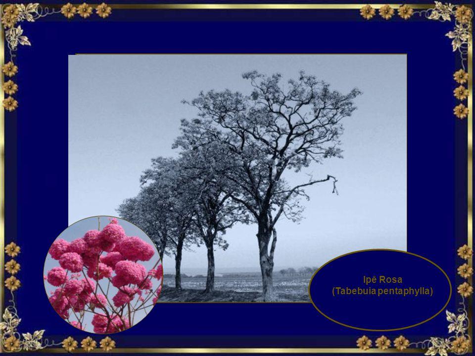 Tabebuia vellosoi floresce no Inverno. A flor do Ipê Amarelo é mencionada como a Flor Nacional do Brasil.