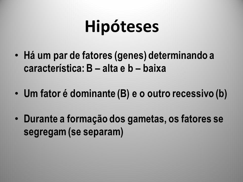 Hipóteses Há um par de fatores (genes) determinando a característica: B – alta e b – baixa Um fator é dominante (B) e o outro recessivo (b) Durante a