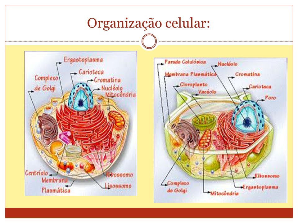 Organização celular: