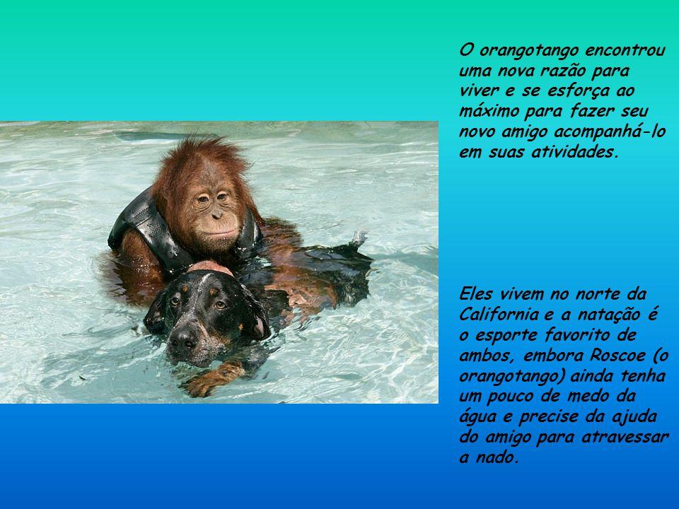 Depois de perder os pais. esse orangotango de três anos de idade estava tão deprimido que se recusava a comer e não respondia muito bem aos tratamento