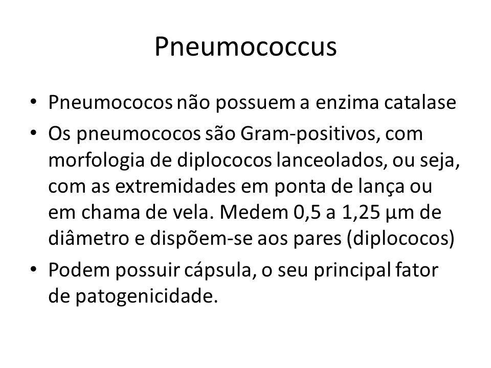 Pneumococcus Pneumococos não possuem a enzima catalase Os pneumococos são Gram-positivos, com morfologia de diplococos lanceolados, ou seja, com as ex