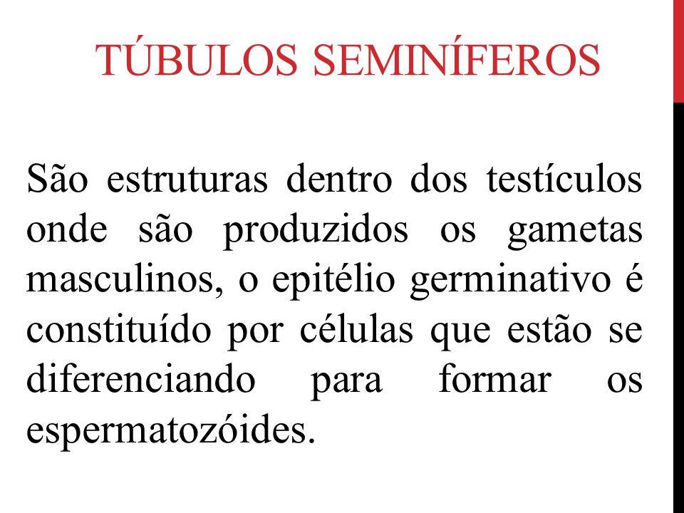 TÚBULOS SEMINÍFEROS São estruturas dentro dos testículos onde são produzidos os gametas masculinos, o epitélio germinativo é constituído por células q