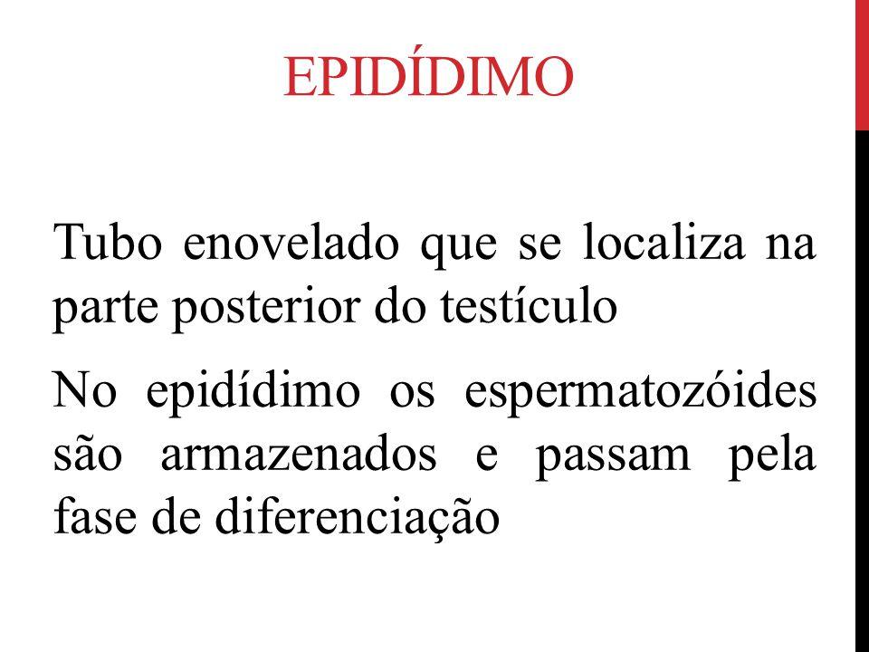 EPIDÍDIMO Tubo enovelado que se localiza na parte posterior do testículo No epidídimo os espermatozóides são armazenados e passam pela fase de diferenciação