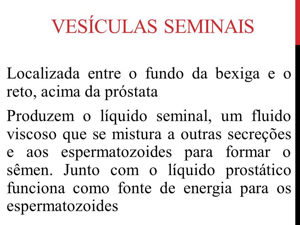 VESÍCULAS SEMINAIS Localizada entre o fundo da bexiga e o reto, acima da próstata Produzem o líquido seminal, um fluido viscoso que se mistura a outras secreções e aos espermatozoides para formar o sêmen.