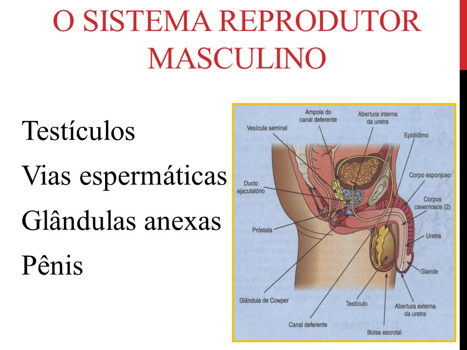 O SISTEMA REPRODUTOR MASCULINO Testículos Vias espermáticas Glândulas anexas Pênis