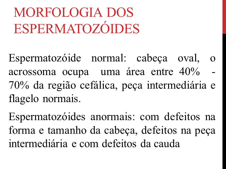 MORFOLOGIA DOS ESPERMATOZÓIDES Espermatozóide normal: cabeça oval, o acrossoma ocupa uma área entre 40% - 70% da região cefálica, peça intermediária e