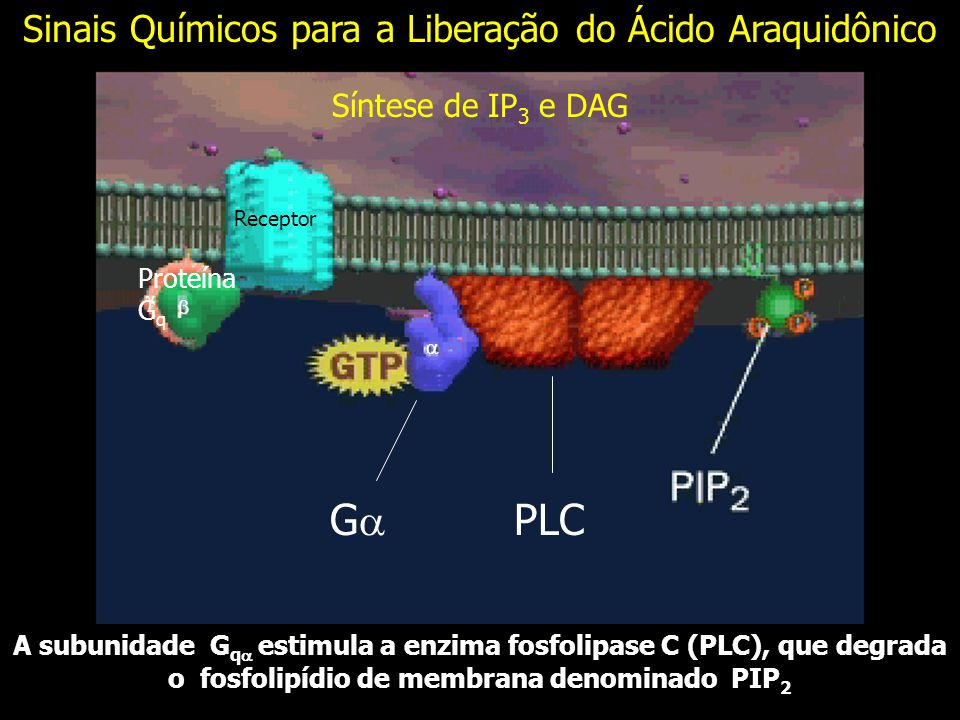 A subunidade G q estimula a enzima fosfolipase C (PLC), que degrada o fosfolipídio de membrana denominado PIP 2 PLC G Receptor Síntese de IP 3 e DAG Proteína G q Sinais Químicos para a Liberação do Ácido Araquidônico