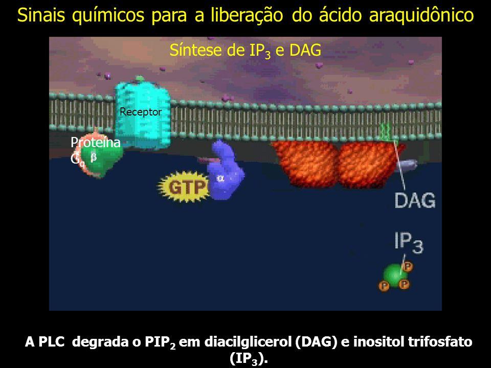 A PLC degrada o PIP 2 em diacilglicerol (DAG) e inositol trifosfato (IP 3 ). Síntese de IP 3 e DAG Receptor Proteína G q Sinais químicos para a libera