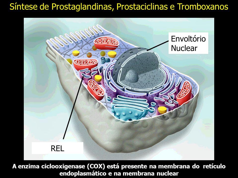 A enzima ciclooxigenase (COX) está presente na membrana do retículo endoplasmático e na membrana nuclear REL Envoltório Nuclear Síntese de Prostaglandinas, Prostaciclinas e Tromboxanos
