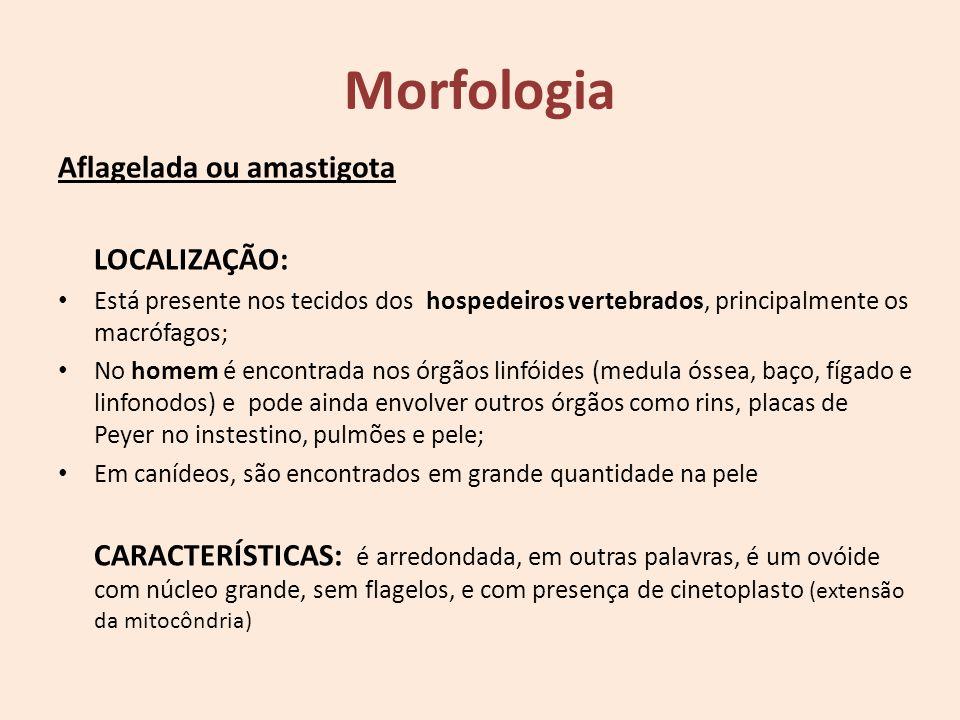 Morfologia Aflagelada ou amastigota LOCALIZAÇÃO: Está presente nos tecidos dos hospedeiros vertebrados, principalmente os macrófagos; No homem é encon