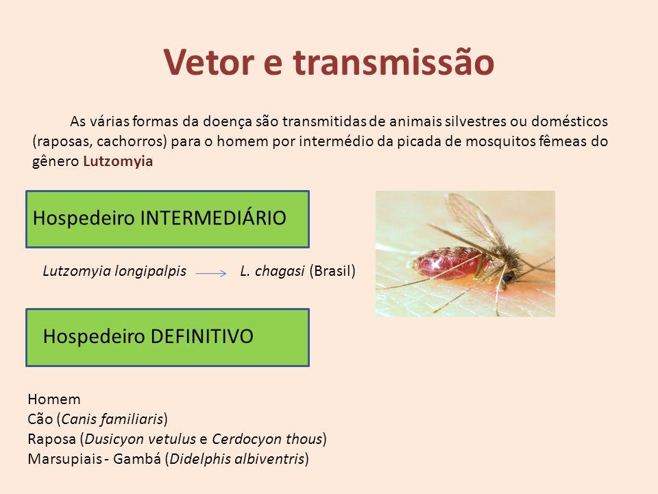 Hospedeiro DEFINITIVO Hospedeiro INTERMEDIÁRIO Vetor e transmissão As várias formas da doença são transmitidas de animais silvestres ou domésticos (ra