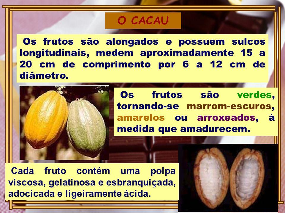 Os frutos são alongados e possuem sulcos longitudinais, medem aproximadamente 15 a 20 cm de comprimento por 6 a 12 cm de diâmetro. O CACAU Os frutos s